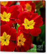 Red Primroses Canvas Print