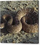 Red Rattlesnake Baja California Mexico Canvas Print