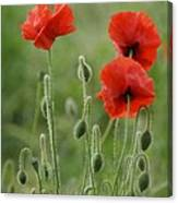 Red Red Poppies 1 Canvas Print