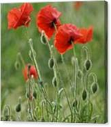 Red Red Poppies 2 Canvas Print