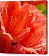 Red Rhodo Canvas Print