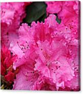 Red Rhododendrons Canvas Print