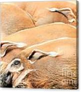 Red River Hogs Potamochoerus Porcus Canvas Print
