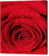 Red Rose And Water Drops Canvas Print