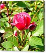 Pink Rose Buds Canvas Print