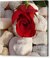 Red Rose On River Rocks Canvas Print