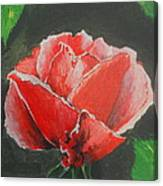 Red Rose Study Canvas Print