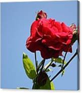 Red Roses With Blue Sky Background Canvas Print