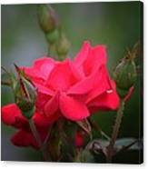 Red Rose 14-1 Canvas Print