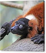 Red-ruffed Lemur Canvas Print