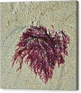 Red Seaweed Canvas Print