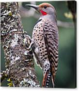 Red Shafted Flicker Vi Canvas Print