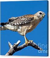 Red-shoulder Hawk Canvas Print