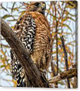 Red-shouldered Hawk In A Willow Tree Canvas Print