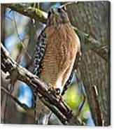 Red-shouldered Hawk On Branch Canvas Print