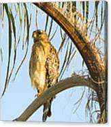 Red-shouldered Hawk On The Palm Tree Canvas Print