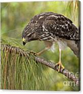 Red Shouldered Hawk Photo Canvas Print