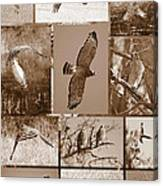 Red-shouldered Hawk Poster - Sepia Canvas Print