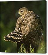Red-shouldered Hawk Wild Texas Canvas Print