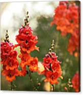 Red Snapdragons Canvas Print