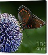 Red Spotted Purple Butterfly Gathering Nectar  Canvas Print