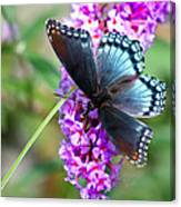 Red Spotted Purple Butterfly On Butterfly Bush Canvas Print
