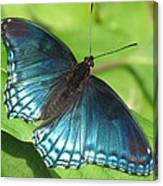 Red-spotted Purple Canvas Print
