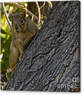Red Squirrel   #1733 Canvas Print