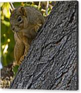 Red Squirrel    #1736 Canvas Print