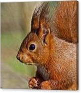 Red Squirrel 2 Canvas Print