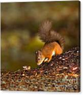 Red Squirrel In Autumn Canvas Print