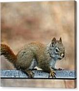 Red Squirrel On Patio Chair Canvas Print