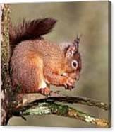 Red Squirrel Perched Portrait Canvas Print