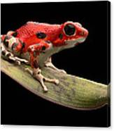 Red Strawberry Poison Dart Frog Canvas Print