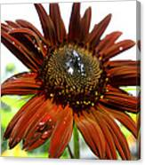 Red Sunflower After The Rain Canvas Print