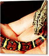 Red Tail Baby Boa - Snake - Pet Canvas Print