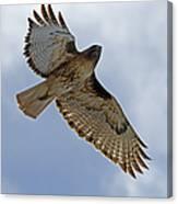 Red-tail Hawk #3094 Canvas Print