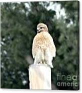 Red Tail Hawk Waiting On A Pole Canvas Print