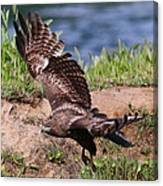 Red Tail On The Hunt Canvas Print