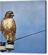 Red Tail On Watch Canvas Print