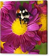 Red-tailed Bumble Bee Canvas Print