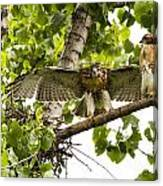 Red-tailed Fledges Canvas Print