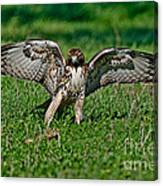 Red-tailed Hawk & Gopher Snake Canvas Print
