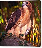 Red Tailed Hawk - 53 Canvas Print