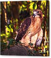 Red Tailed Hawk - 54 Canvas Print