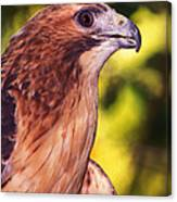 Red Tailed Hawk - 59 Canvas Print