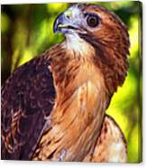 Red Tailed Hawk - 66 Canvas Print