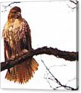 Red-tailed Hawk Drying Out Canvas Print