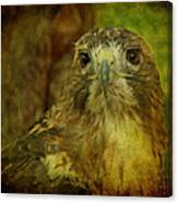 Red-tailed Hawk II Canvas Print
