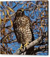 Red-tailed Hawk In A Willow Tree Canvas Print